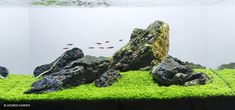 Iwagumi tank is one of the most simple and elegant looking aquascape aquarium setup, it looks easy to accomplish but is not. This aquascaping beginner guide will teach you how to do it. Planted Aquarium, Aquarium Aquascape, Aquarium Landscape, Nature Aquarium, Aquarium Design, Aquarium Setup, Marine Aquarium, Aquarium Fish Tank, Aquarium Ideas