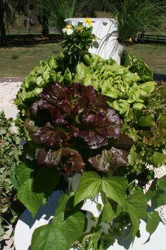 Red Summer Crisp Cherokee Lettuce http://jdb.towergarden.com