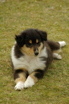 Adorable tricolor collie puppy.