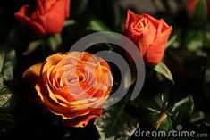 Orange Mini Rose Flowering Plant