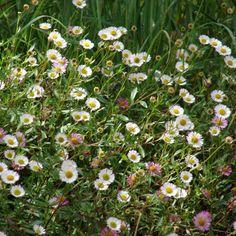 20 fleurs faciles à faire pousser : L'erigeron