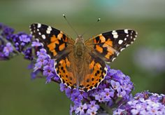 Buy butterfly bush Buddleja Lochinch - Fragrant violet-blue flowers all summer: 2 litre pot: Delivery by Crocus