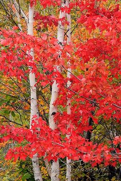 Acer rubrum (Red Maple) Autumn foliage with white birch tree trunks