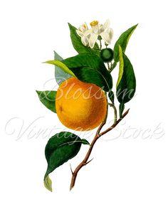 Orange Clipart, Orange Branch PNG, Botanical Vintage Image - Orange Graphic for prints, digital artwork - INSTANT DOWNLOAD - 1161