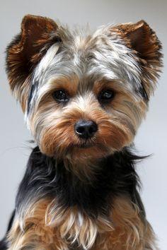 Hond #chihuahua