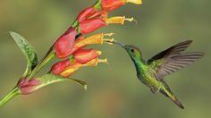 Green-Breasted Mango Hummingbird, Costa Rica