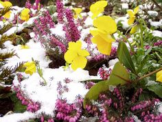 Snow and flowers | Flickr - Gábor Hojtsy - Creative Commons