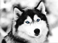Lobo da Neve