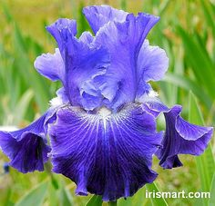 Velvet Blue' re-blooming Irises. Midseason bloomer. Height: 34-40 in. - Fragrant
