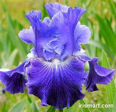 Velvet Blue Tall Bearded Iris