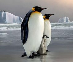 King Penguins - The Royal Family::by Tammara Penguins And Polar Bears, Baby Penguins, Animals And Pets, Baby Animals, Cute Animals, Penguin Animals, Penguin Species, Penguin Love, King Penguin