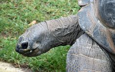 https://flic.kr/p/XC7D82 | Aldabra Giant Tortoise (Aldabrachelys gigantea) | The Aldabra Giant Tortoise (Aldabrachelys gigantea) is one of the largest reptile species and only known from Aldabra and the Seychelles in western Indian Ocean (Reptilia: Testudines: Testudinidae).  IUCN Red List: vulnerable  Heidelberg Zoological Garden
