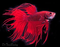 Beautiful red betta splendens - male Siamese fighting fish.