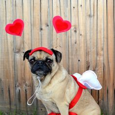 Items similar to Valentine's Day Love package Costume - CUPID WINGS and HEART hat fits all size dogs or cats - guaranteed V day delivery on Etsy Valentines Day Dog, Cat Valentine, Diy Pour Chien, Cute Pugs, Funny Pugs, Pet Costumes, Costume Ideas, Pug Love, Love Bugs