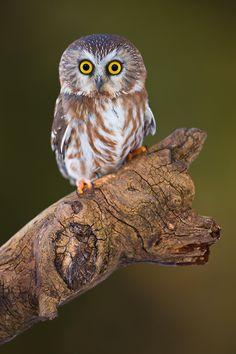 petrified the average northern <b>saw whet owl</b> aegolius acadicus weighs a ...