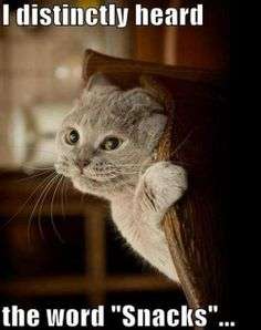 """I distinctly heard the word """"Snacks"""". - LOLcats is the best place to find and submit funny cat memes and other silly cat materials to share with the world. We find the funny cats that make you LOL so that you don't have to. Funny Cat Memes, Funny Cats, Funny Animals, Cute Animals, Cats Humor, Memes Humor, Funny Horses, 9gag Funny, Funny Captions"""