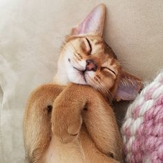 Cute Baby Cats, Cute Cats And Kittens, Cute Funny Animals, Kittens Cutest, Crazy Cat Lady, Crazy Cats, Abyssinian Cat, Picture Postcards, Pretty Cats