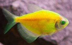 GloFish Electric Green Tetra  I just got one of these for my aquarium today.