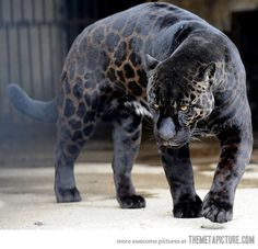 Black leopard, aka panther. This one seems to be more leopard than panther... but its still amazing anyway :3