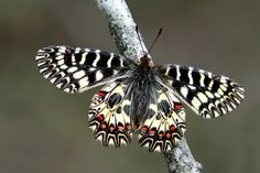 Zerynthia polyxena by Murat GENCER on 500px