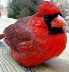 Every time I see one of these birds I think of my great-grandmother. (she is in Heaven now) This was her favorite bird..... I miss you mawmaw..............