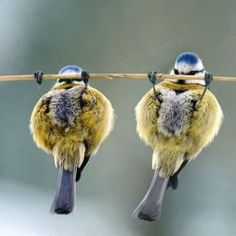 Pull ups: Our budgies would do this when they lost their balance :)
