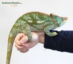 Check out our resident giant Yellow-lipped Parson's chameleon (Calumma parsonii). He's over 26-inches long.
