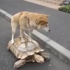 Unusual Animal Friendships, Unusual Animals, Dog Pictures, Funny Pictures, Funny Animals, Cute Animals, Shiba Inu, Cute Dogs, Dogs And Puppies