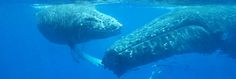 Whaleswim Adventures – Swim with Whales in Tonga. All inclusive tour packages