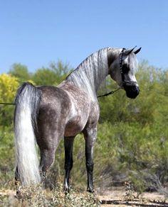 Dapple Grey Arabian stallion 'Abraxus Crown Prince'.