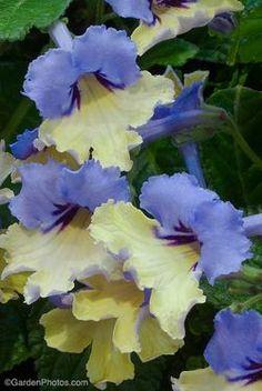 Streptocarpus  'Harlequin Blue