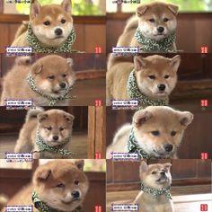 「【柴犬】和風総本家の歴代看板犬・豆助の顔と歩き方を比較してみたwwwwwwwwwwwww」の画像 : ハムスター速報