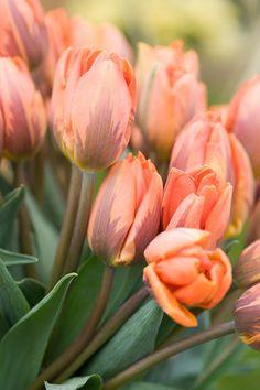 Tulip 'Princess Irene'☆ ◦●◦ ჱ ܓ ჱ ᴀ ρᴇᴀcᴇғυʟ ρᴀʀᴀᴅısᴇ ჱ ܓ ჱ ✿⊱╮ ♡ ❊ ** Buona giornata ** ❊ ~ ❤✿❤ ♫ ♥ X ღɱɧღ ❤ ~ Mon 23rd Feb 2015