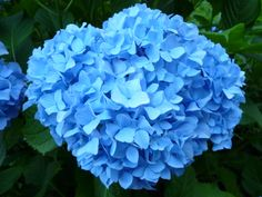Blue Hydrangea 青色の紫陽花 (2012/06/05)