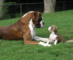 Boxer's are the best dogs! Boxer Bulldog, Boxer Puppies, Cute Puppies, Cute Dogs, Dogs And Puppies, Doggies, Boxer And Baby, Boxer Love, Boxer Americano