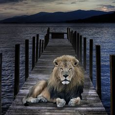 A Lion Waits by @kurtvon  | #animal #lion