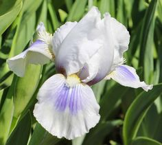Iris germanica 'Panda Paws' (unreg, unreg)