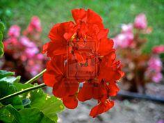 red blossoms by alexanderkohn.deviantart.com on @deviantART