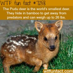 The Pudu deer - WTF fun fact You will find the most interesting facts about dogs on my account. Wow Facts, Wtf Fun Facts, Funny Facts, Random Facts, Crazy Facts, Random Things, Random Stuff, Strange Facts, Cute Funny Animals