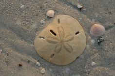Sand dollar at Lover's Key State Park by jdigeronimo66, via Flickr
