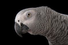 Scientists are using forensic techniques to help save African gray parrots, among the most illegally trafficked birds in the world. Parrot Facts, Senegal Parrot, Animal Intelligence, African Grey Parrot, Parrot Toys, Parrot Bird, Wild Birds, Bird Feathers, Pet Birds