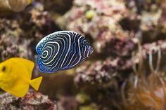 Blogbeitrag Kaiserfische im Meerwasseraquarium München