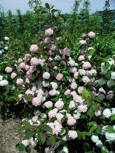 Viburnum plicatum 'Mary Milton'