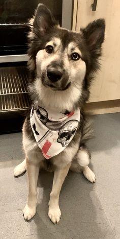 Cotton bandana for sale 🐶 Cotton Bandanas, Dog Coats, Dog Accessories, Your Dog, Husky, My Etsy Shop, Dogs, Animals, Animales