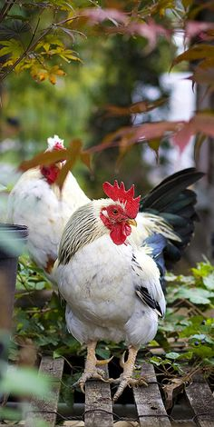 Rooster on the prowl by Pete Flick, via Flickr