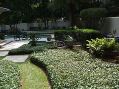 (Asian Jasmine, Dwarf Jasmine, Japanese Star Jasmine) Evergreen trailing vine forms a dense mat that carpets or climbs. Great for erosion/weed control. Ground Cover Plants Shade, Asian Jasmine, Evergreen Vines, Organic Weed Control, Front Yard Design, Front Yard Landscaping, Landscaping Ideas, Planting Flowers, Plants