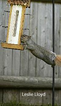 squirrel appreciation day, bird feeder, gray squirrel