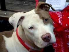 DIAMOND is an adoptable Pit Bull Terrier Dog in New York, NY. A volunteer writes: Puppy Diamond was found as a stray. She is absolutely gorgeous, well groomed and healthy looking. She undoubtedly seem...