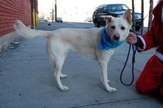 SAFE --- Brooklyn Center   GINGER - A1022879   FEMALE, CREAM / WHITE, GERM SHEPHERD MIX, 6 yrs STRAY - STRAY WAIT, NO HOLD Reason STRAY  Intake condition UNSPECIFIE Intake Date 12/11/2014, From NY 11433, DueOut Date 12/14/2014,  https://www.facebook.com/photo.php?fbid=921701994509347%2F