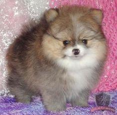 teacup Pomeranian #Pomeranian Pomeranian Puppy For Sale, Teacup Pomeranian, Teacup Puppies, Cute Puppies, Cute Dogs, Dogs And Puppies, Awesome Dogs, Doggies, Baby Animals